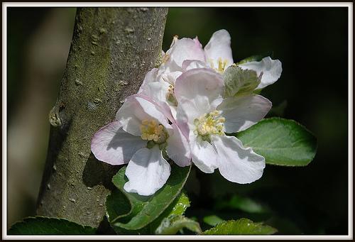 Flor de manzano - Vía flickr fotoblasete